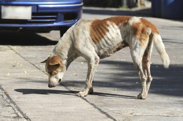 Can Fleas Make A Dog Vomit