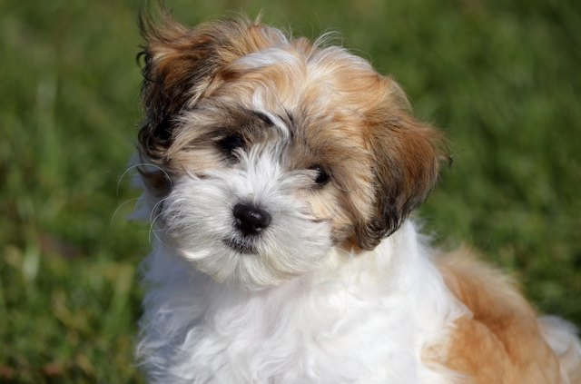 Small Dog Breeds That Dont Shed Bichon Frise