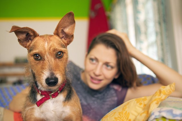 cauliflower ear dog