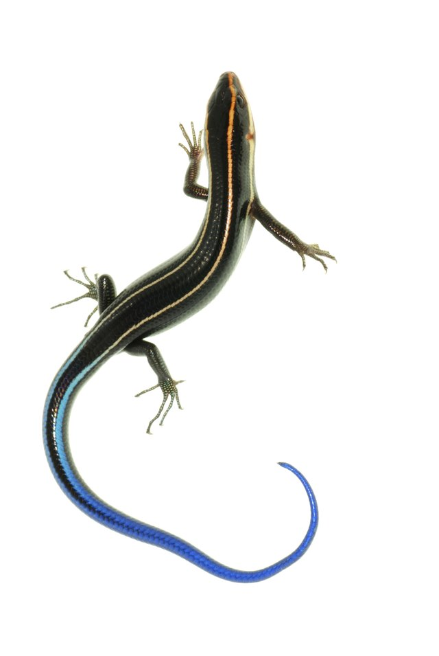 blue tailed skinks in garage | PEST CONTROL CHEMICALS 800 ...  |Blue Tail Lizard