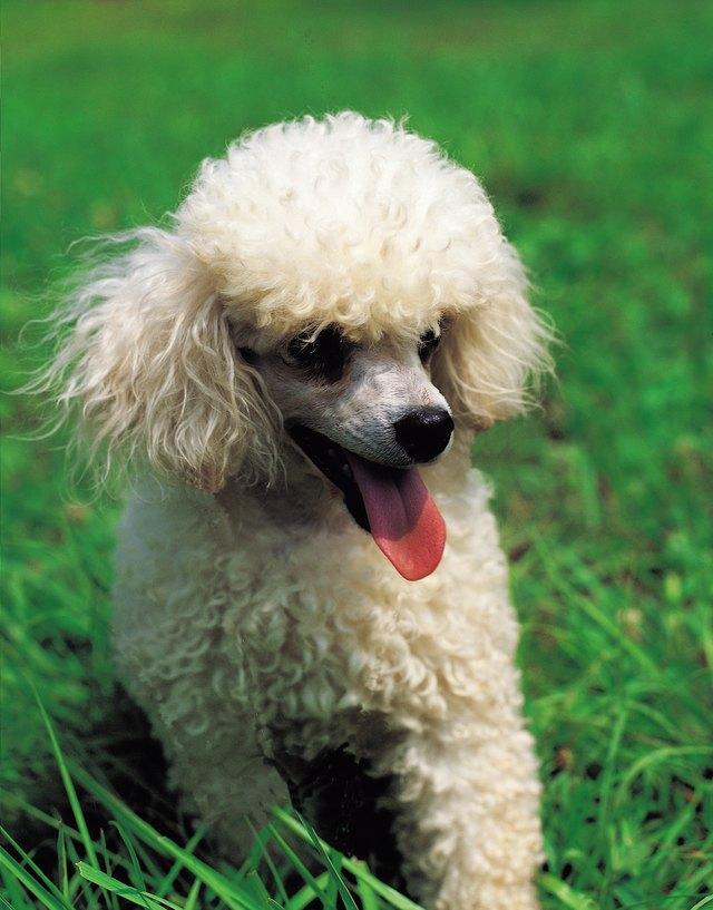 Different Haircuts For Toy Poodle Puppies Cuteness