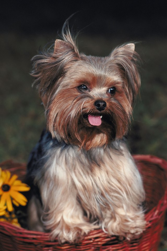shorkie haircut styles recommended feeding for shorkie puppies cuteness 4364