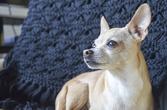 How To Recognize Deer Style Chihuahuas Cuteness