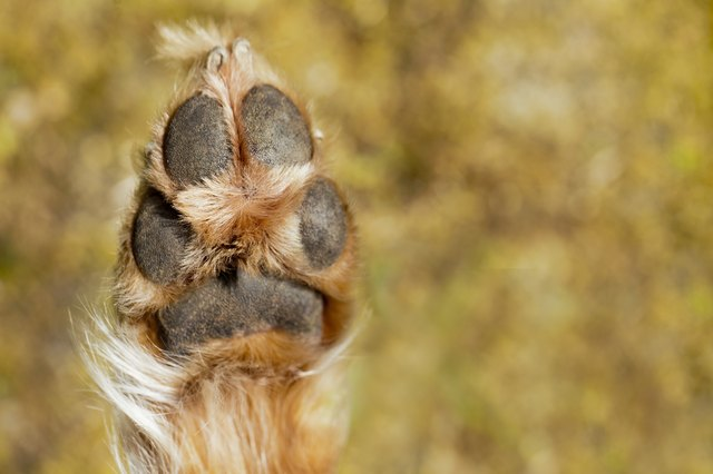 dog paw injuries cuteness