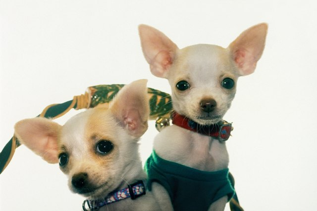 Homemade dog food for chihuahuas cuteness why switch to homemade dog food manufacturers forumfinder Images