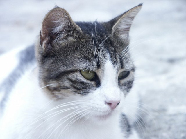 Why Do Cats Have Little Pockets On Their Ears Cuteness