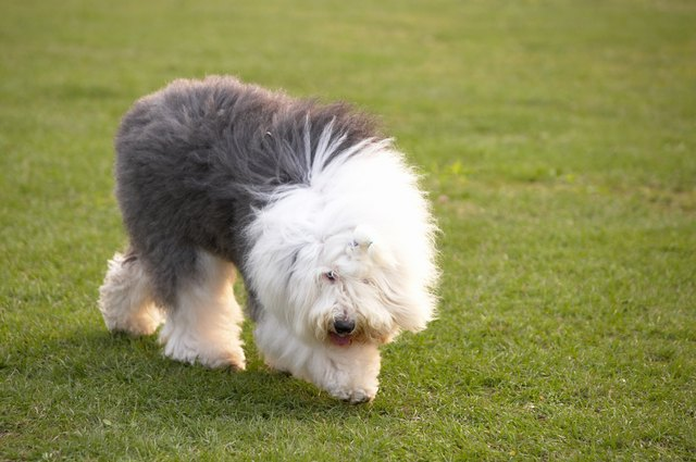 Hairstyles Cuts For Long Haired Dogs Cuteness