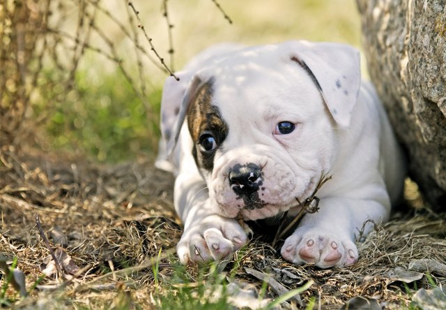When Does An American Bulldog Stop Growing Cuteness