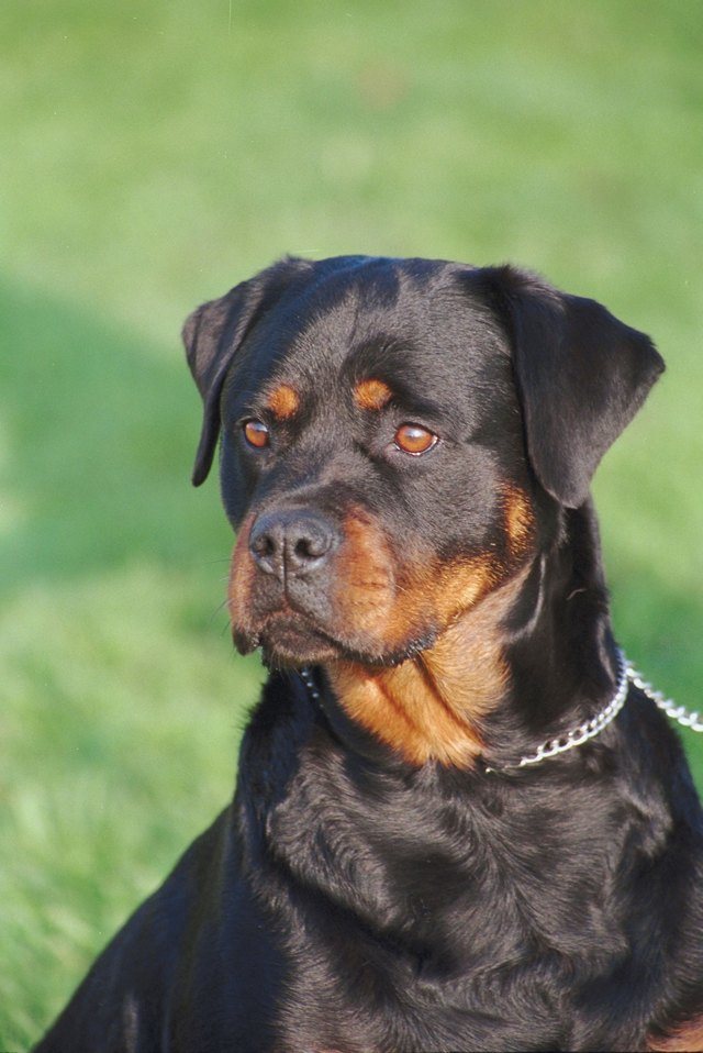 When Does A Rottweiler Stop Growing Cuteness