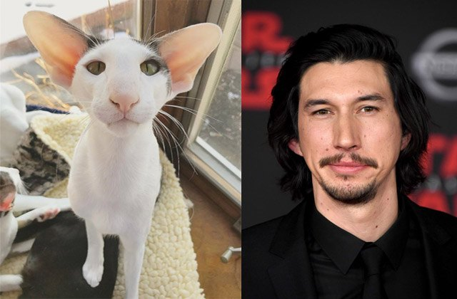 Cat looks like actor Adam Driver