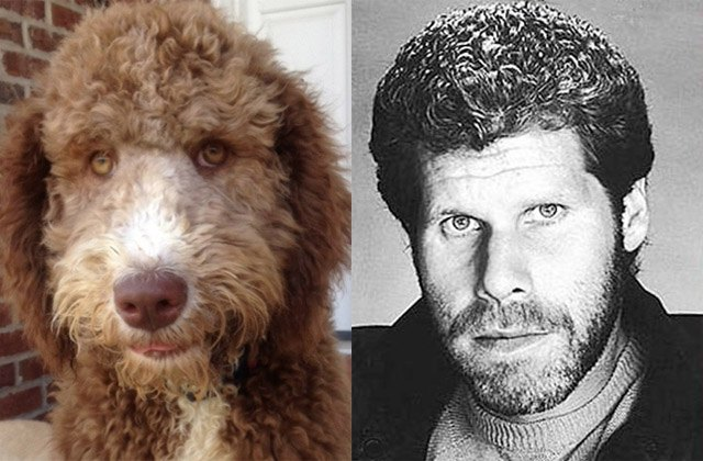 Poodle looks like actor Ron Perlman