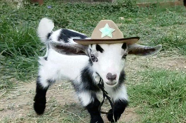 Baby Goats Wearing Cowboy Hats Is Basically All We Care