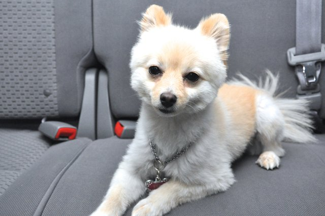 How to Get Dog Hair Out of Car Upholstery | Cuteness