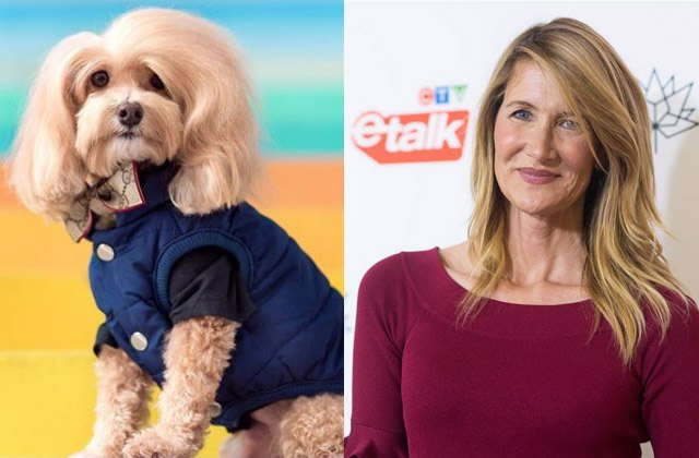 Maltipoo puppy looks like actress Laura Dern
