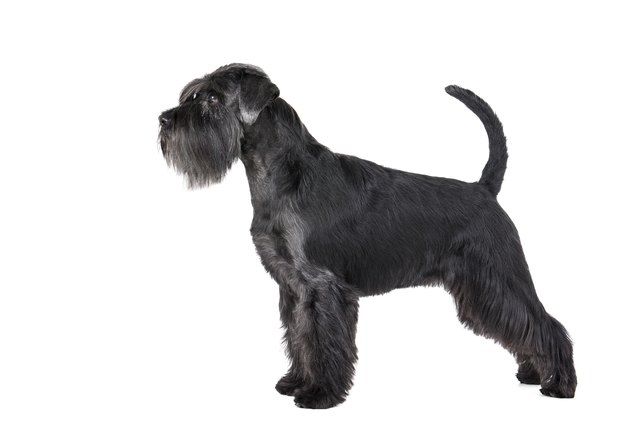 giant schnauzer dog breed facts information cuteness