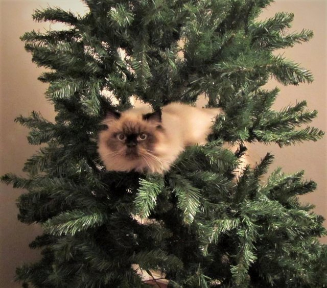 cat lounging in christmas tree