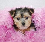 Yorkie Maltese Mix Information