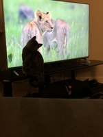Cats Reacting to New Wildlife Doc About Big Cats is Basically Cat Inception