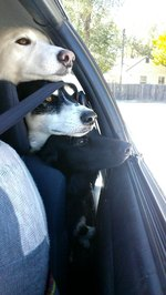 20 Dogs Chilling Out In Cars
