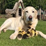 Dog 'Adopts' 9 Ducklings & We Can't Even Because Awww