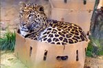 15 Big Cats Who Love Boxes More Than House Cats