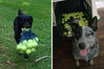 21 Photos That Prove the Bond Between Dogs and Tennis Balls Is Unbreakable