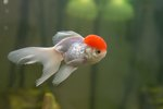 How to Identify and Care for Red Cap Oranda Fish