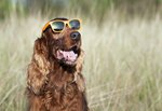 Are Solar Eclipses Dangerous For Pets?