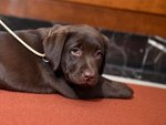 What Are the Differences Between CKC & AKC Registered Dogs?