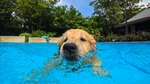 Can Dogs Swim In Chlorine Pools?