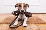 How to Wash a Dog Collar, Leash or Harness