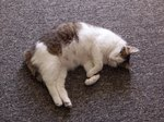 Cat Pregnancy and the Length of Gestation