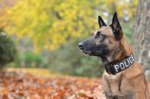 101 Names That Are Popular For Police Dogs