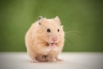 Do Hamsters Make Good Pets?