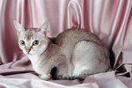 Singapura Cat Breed Facts & Information