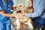 What Are Monocyte Levels in Dogs?