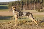 What Is a Catahoula Dog?