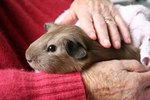 Signs of Old Age in Guinea Pigs