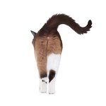 Why Do Cats Lick Their Own Butts?