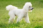 What Are the Sizes of Poodles?