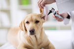 How to Get a Bug Out of a Dog's Ear