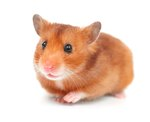 Why Do Hamsters Chirp?