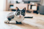 Causes of a Hard Lump in a Cat's Tail