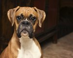 Boxer Dog Breed Facts & Information