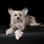 Chinese Crested Dog Breed Facts & Information
