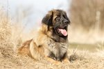 Leonberger Dog Breed Facts & Information