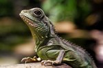 How to Build Habitats for Chinese Water Dragons