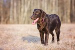 Flat-Coated Retriever Dog Breed Facts & Information