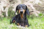 147 Names For Your Dachshund