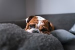 What is Cherry Eye in Dogs?